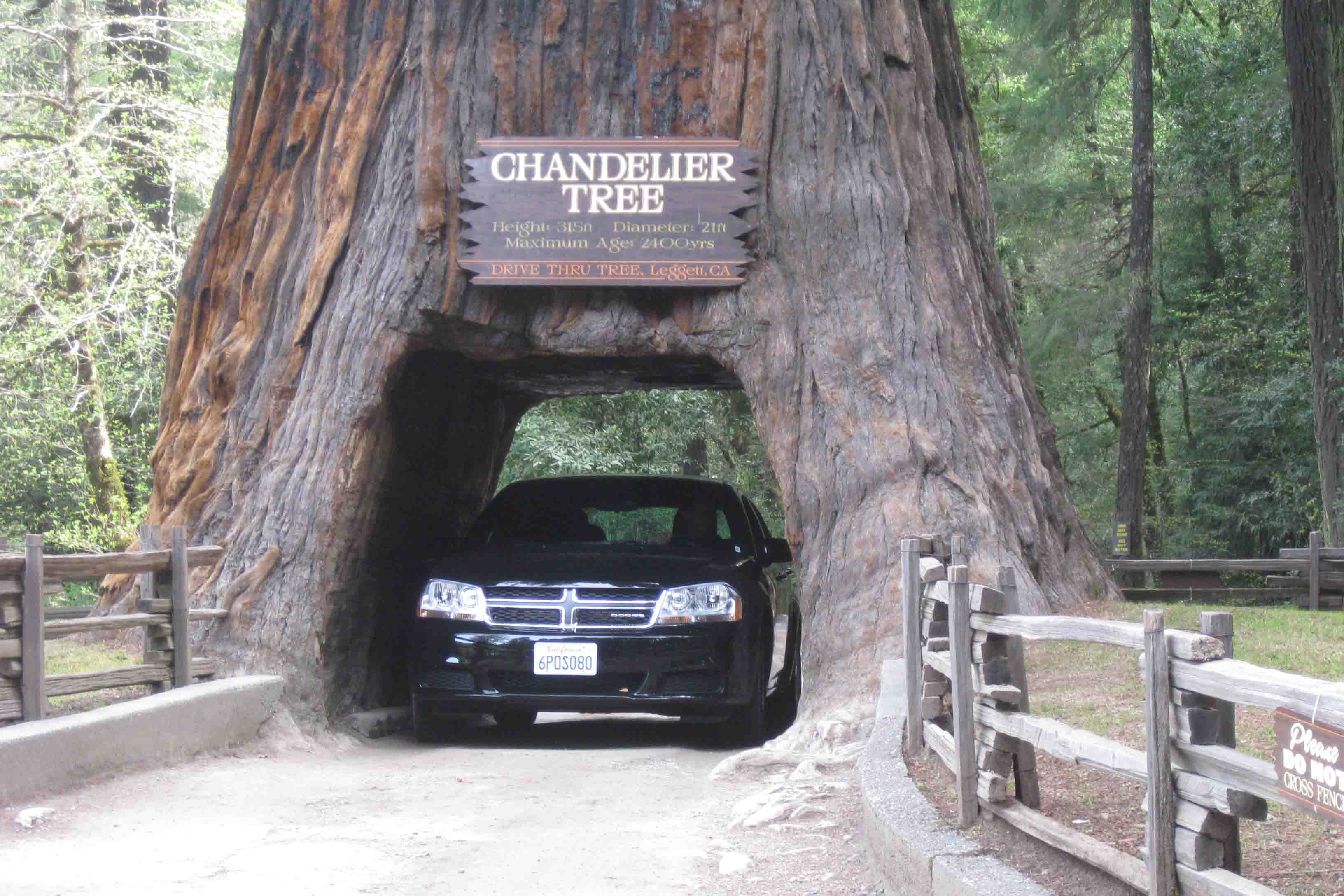 Car Driving Through A Redwood Tree
