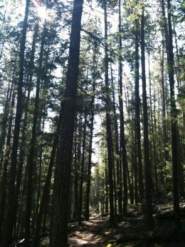 photo-pine3 rc