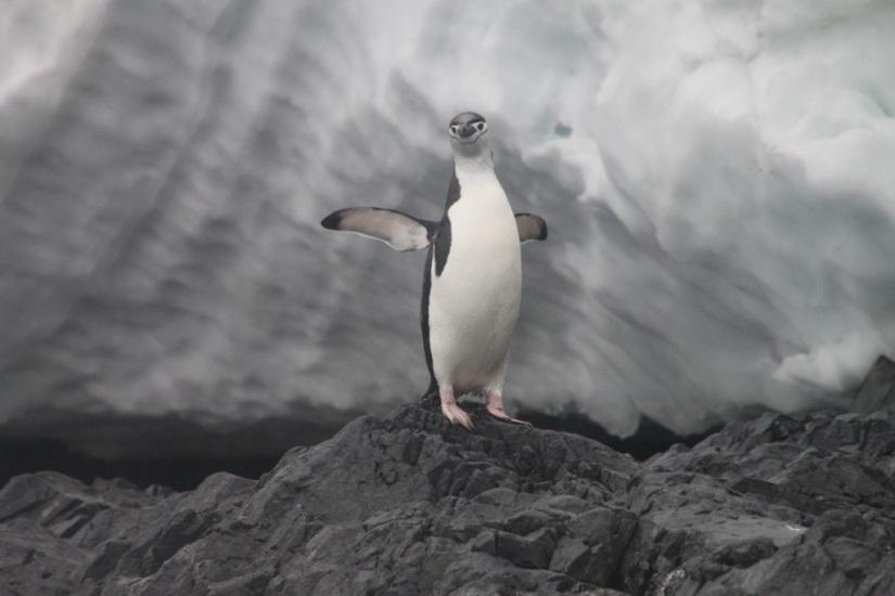chinstrap penguin, antarctica, Orne Harbor
