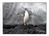 chinstrap penguin thumbnail
