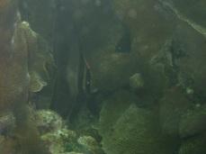Juvenile Spadefish