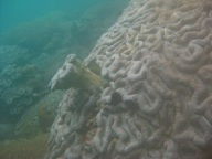Coral colonizing
