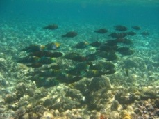 Bi-color parrot fish