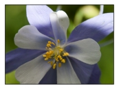 Blue Columbine website