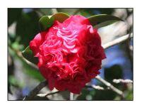 camellia website copy