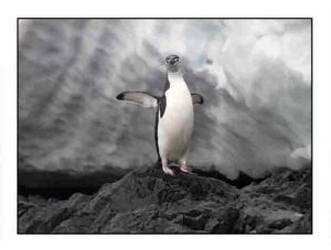 chinstrap penguin website copy