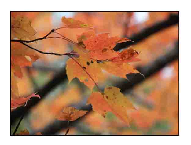 maple leaf website copy