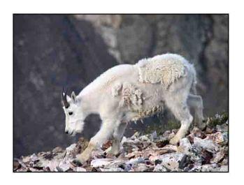 mountain goat website copy