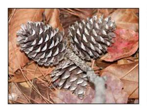 pine cones website copy