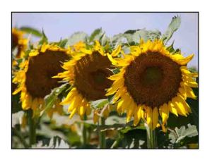 Sunflowers website copy