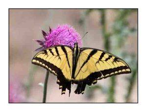 western tiger swallowtail website copy