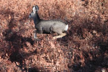 IMG_2615 deer hopping2