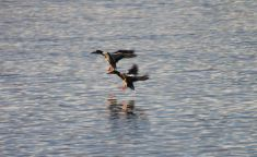 IMG_2630 ducks landing