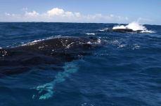 IMG_3312 spy hop whale 2