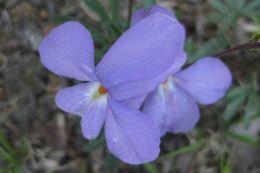 IMG_3378 purple flower