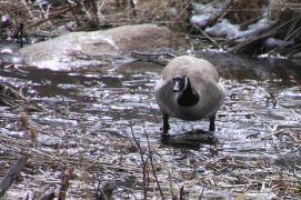 IMG_3869 goose