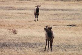 IMG_3901 two elk