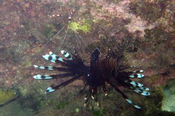 shrimp and lionfish