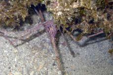 giant arrow crab