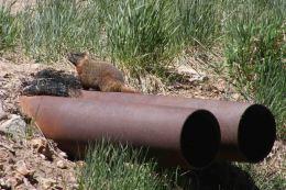 IMG_4193 marmot