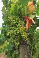 IMG_4296 grapes