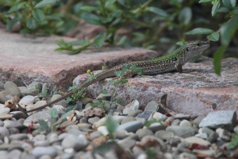 IMG_4321 lizard