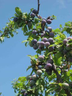 IMG_4750 grapes