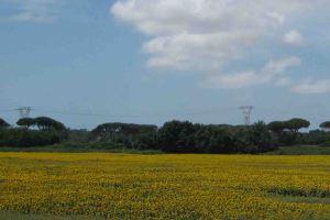 IMG_5129 sunflowers