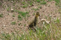 IMG_5398 duckling