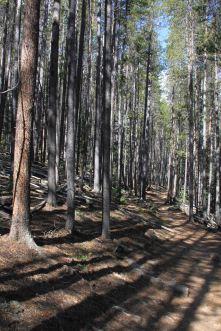 IMG_5466 lodge pole pines