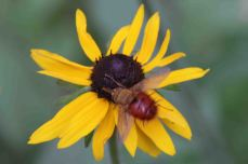 IMG_5506 blackeyed susan