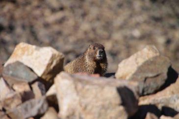 IMG_5578 marmot