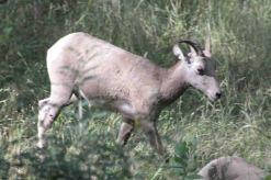 IMG_5777 mtn goat