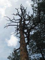 IMG_5862 dead tree