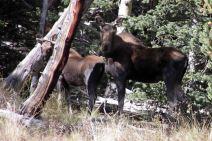 IMG_6377 moose