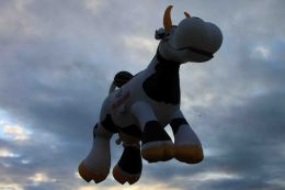 IMG_6707 cow