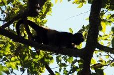 hpwler monkey