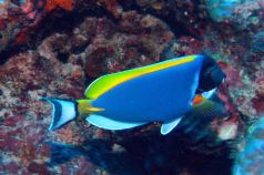 IMG_0209 surgeonfish