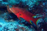IMG_0211 grouper