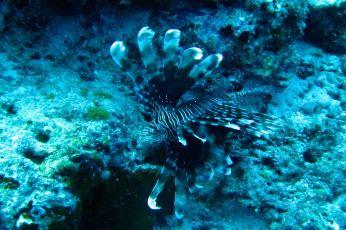IMG_0231 lionfish