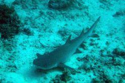 IMG_0260 nurse shark