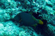 IMG_0264 filefish