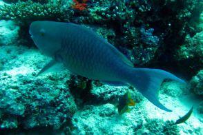 IMG_0266 parrotfish
