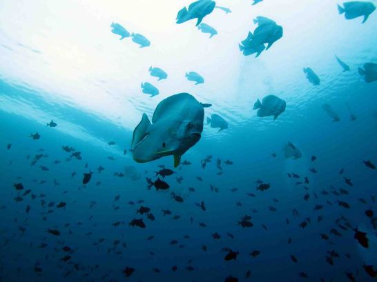 photo1430311042183 batfish dive 1