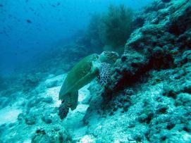 photo1430311043327 turtle dive 1