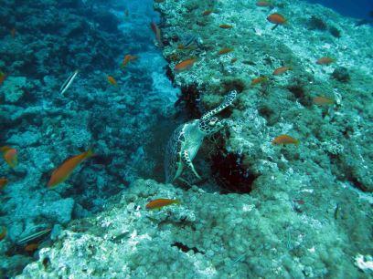 photo1430311259078 turtle dive 1