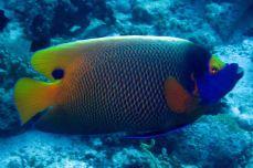 photo1430315402216 angelfish