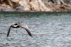 IMG_8474 goose adventuresofacouchsurfer