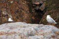 IMG_8492 glaucou gulls adventuresofacouchsurfer