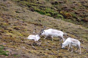 IMG_8496 reindeer adventuresofacouchsurfer